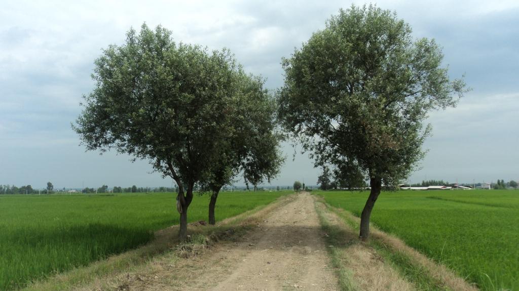 درختان زیبا در مزارع کاردیکلا